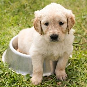 Puppy in Dog Water Bowl